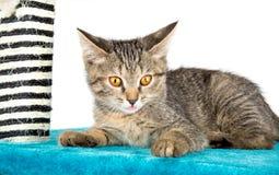 与他的桃红色舌头的小猫说谎蓝色软的表面上 免版税库存照片