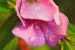 与水滴的桃红色花  图库摄影