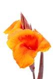 与水滴的橙黄Canna百合fower  免版税库存照片