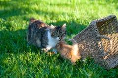 与他的母亲戏剧的甜矮小的橙色小猫在后院 免版税库存图片