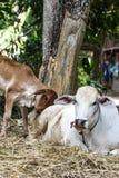 与他的母亲母牛的布朗小牛 免版税库存照片