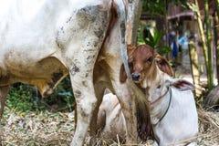 与他的母亲母牛的布朗小牛 免版税库存图片