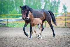 与他的母亲母马的驹在小牧场走 库存图片