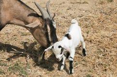 与他的母亲的婴孩西藏山羊 库存图片