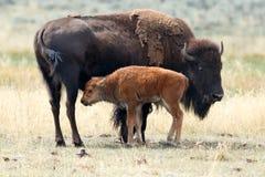 与他的母亲的水牛城小牛 免版税库存图片