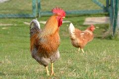 与他的母鸡的布朗公鸡 库存照片