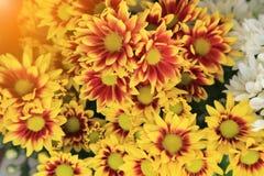 与轻的火光的五颜六色的菊花花花束 库存图片