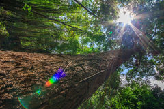 与轻的火光的巨型树 免版税库存图片