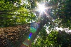 与轻的火光的巨型树 库存照片