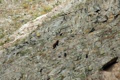 与崽的熊在岩石 库存照片