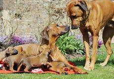 与他们的父母的可爱的小的小狗 免版税图库摄影