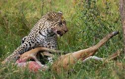 与他的牺牲者的豹子 国家公园 肯尼亚 坦桑尼亚 马赛马拉 serengeti 免版税库存图片