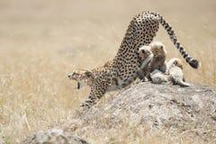 与崽的猎豹在马塞语玛拉,肯尼亚 免版税库存照片