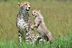 与崽的猎豹 免版税库存图片