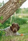 与他的玩具的狗 免版税库存图片
