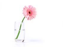与水滴的甜桃红色大丁草花在白色的玻璃 图库摄影