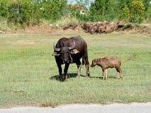 与他的站立在绿草的母亲的小水牛 免版税库存图片