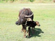 与他的站立在绿草的母亲的小水牛 免版税图库摄影