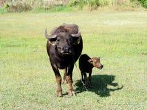 与他的站立在绿草的母亲的小水牛 库存图片