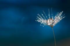 与水滴的蒲公英  一个蒲公英的一颗美丽的宏观种子在蓝色背景的 提取宏指令 库存图片