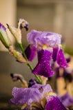与水滴的虹膜花 免版税图库摄影