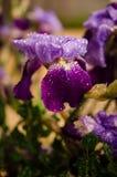 与水滴的虹膜花 免版税库存图片