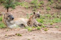 与崽的被察觉的鬣狗 库存照片