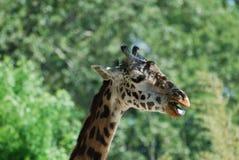 与他的长颈鹿大开的嘴 免版税库存图片