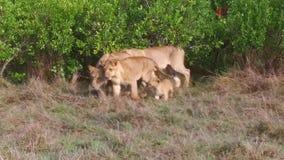 与崽的雌狮在非洲的大草原 股票录像