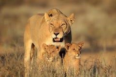 与崽的雌狮 库存图片