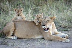 与崽的雌狮 免版税库存图片