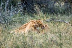 与崽的雌狮 库存照片