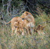 与崽的雌狮 免版税库存照片