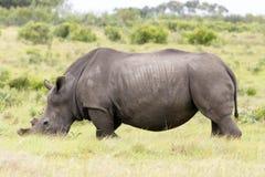 与他的面孔的犀牛在草 库存照片