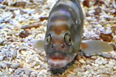 与傻的面孔的鱼 免版税库存照片