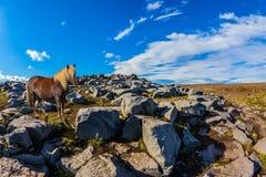 与轻的鬃毛的美丽的冰岛马 免版税图库摄影