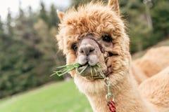 与嘴的滑稽的羊魄有很多草 库存照片