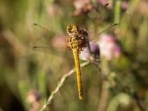 与水滴的蜻蜓从背景 库存图片