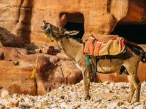 与驴的Petra洞 免版税图库摄影