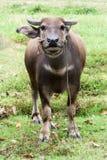 与绳索的Potrait水牛在泰国的绿色领域 免版税库存照片