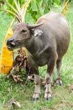 与绳索的Potrait水牛在泰国的绿色领域 库存照片