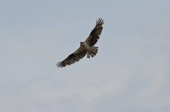 与他的Wing& x27的白鹭的羽毛鸟; s传播 库存照片