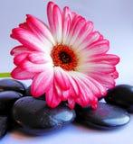 与黑石头的一朵两被定调子的桃红色大丁草Germini花 库存图片
