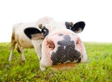 与滑稽的大口鼻部和自然本底的好奇母牛 免版税库存照片