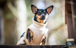 与滑稽的衣裳的狗 免版税库存图片