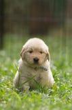 与滑稽的表示的逗人喜爱的金毛猎犬小狗 图库摄影