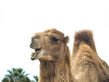 与滑稽的表示isol的双峰的骆驼骆驼属bactrianus 免版税库存图片
