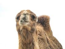 与滑稽的表示isol的双峰的骆驼骆驼属bactrianus 图库摄影