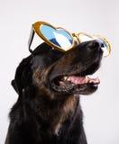 与滑稽的玻璃的狗 免版税库存照片