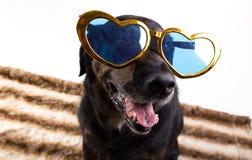 与滑稽的玻璃的狗 库存照片
